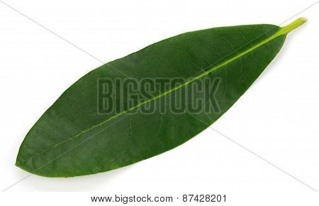 Rhododendron Leaf Isolated