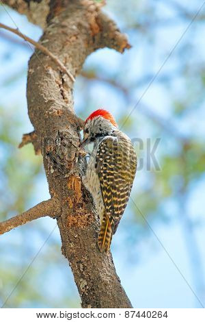 Golden-tailed Woodpecker On A Tree