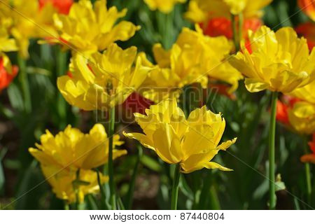 Yellow and red tulips on a flower bed