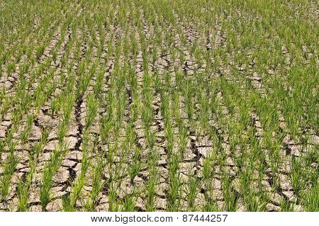 Green shoots of rice grown on dry land. background.
