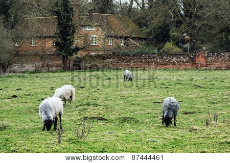 Sheep Grazing In The English Countryside