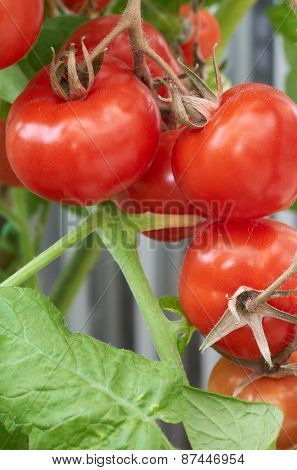 Ripe Fresh Tomatoes Growing On The Vine.