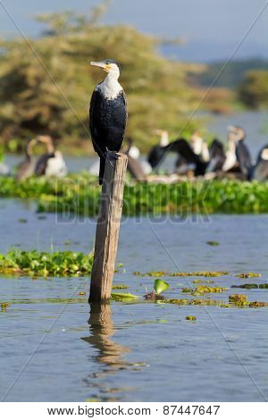 Cormorants, Naivasha Lake