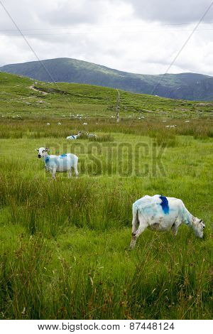 Sheep Feeding On The Kerry Way