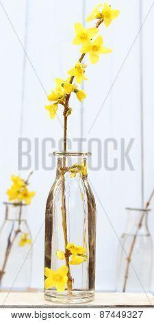 Spring yellow forsythia sprig