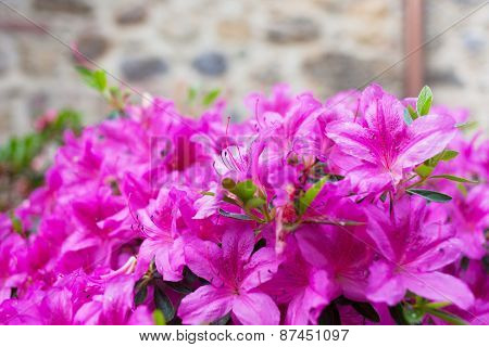 Big Bush Of An Violet Azalea In The Yard Near A Stone Wall Of The House