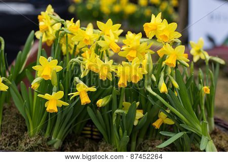 Close up of Yellow jonquil flowers in garden