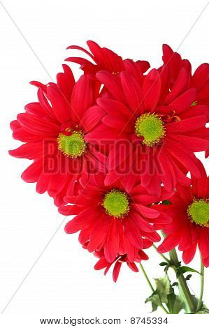 Bunch of red daisy chrysanthemum