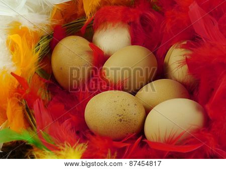 Chicken eggs in colorful feathers