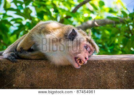 Monkey Bare It's Teeth In Sigiriya, Sri Lanka