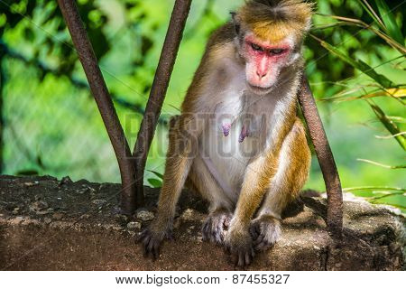 She-monkey Sitting Outdoor In Sigiriya, Sri Lanka