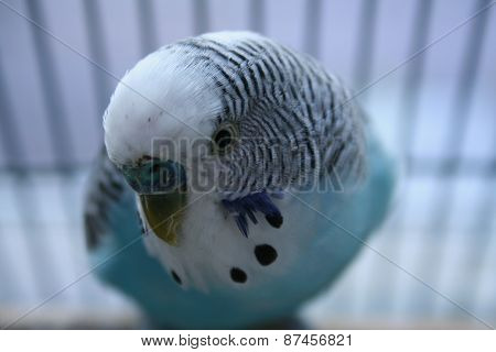 Very cute close up of male parakeet