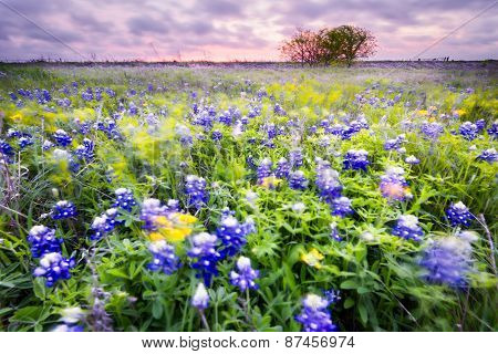 Bluebonnet Field In Texas