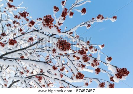 Snow-bound Rowan Branches With Bunches Of Red Berry