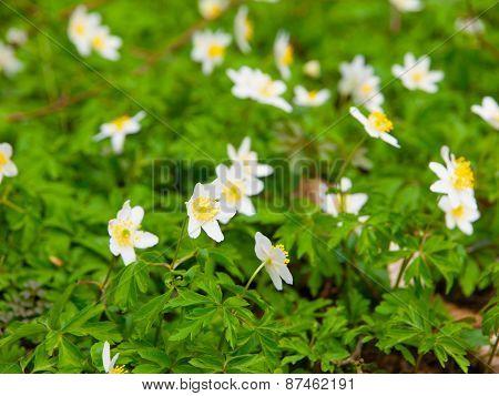 White wood anemones