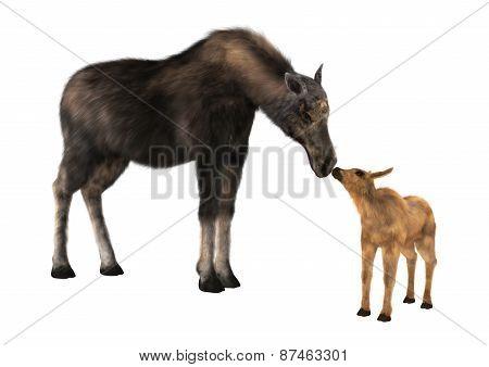 Female Moose And Calf