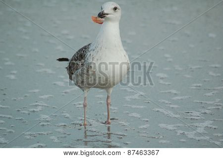 Ring Billed Sea Gull