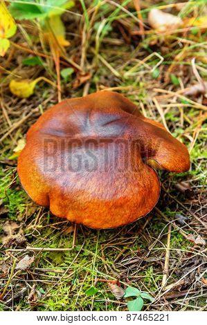Mushroom Suillus Luteus