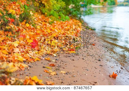 Bank Of The River And Fallen Maple Leaves