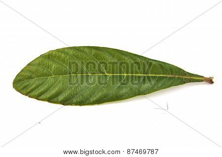 Closeup of single loquat leaf on a white background