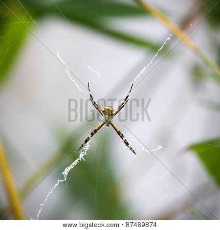 Black And Yellow Argiope Spider On Web