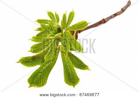 Fresh new chestnut leaves on a white background