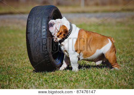 english bulldog outdoors in spring