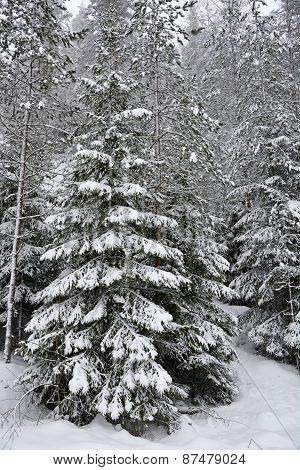 Winter Fir Trees At The Forest. Closeup View