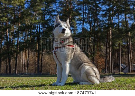 Siberian Husky is sitting on the lawn.