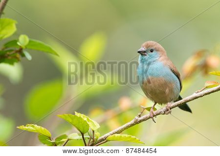 Blue Waxbill (uraeginthus Angolensis) Perched On A Branch