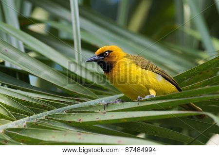 Spectacled Weaver (ploceus Ocularis) Perched On A Palm Frond