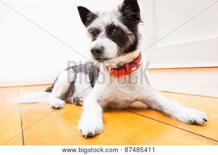 Terrier Dog On The Floor
