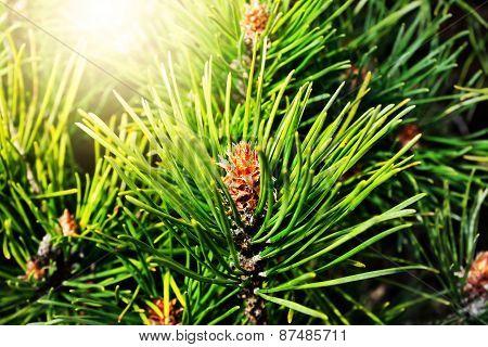Pinus Mugo Backlit