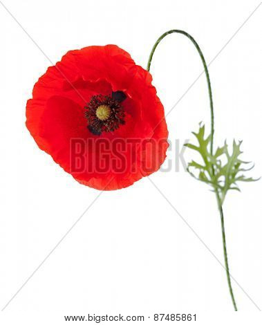 Poppy with pollen on the petals isolated on white background.