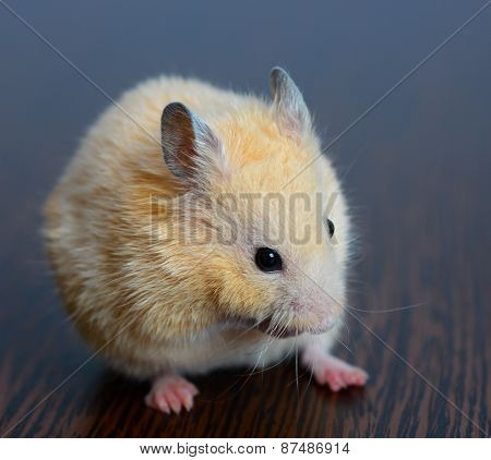 Little Hamster Straw Colored