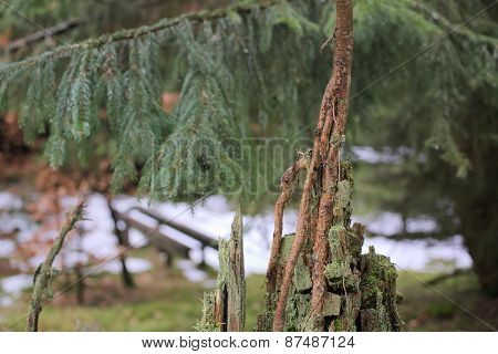 Young Spruce On Stump
