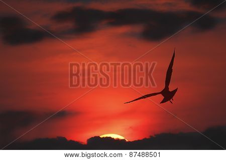 Silhouette Of Ring-billed Gull In Flight At Sunset - Ontario, Canada