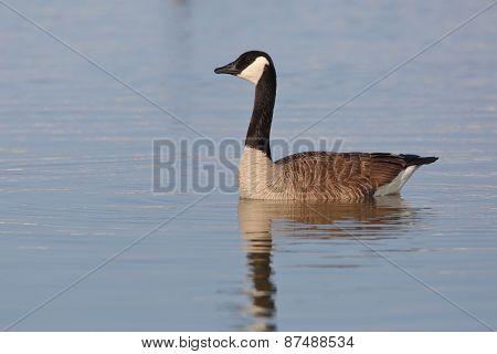 Canada Goose - Grand Bend, Ontario