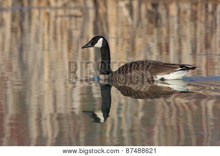 Canada Goose And Reflection On A Small Pond  - Grand Bend, Ontario