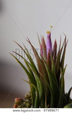 Tillandsia Blossom