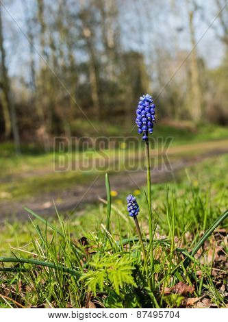 Flowering Grape Hyacinths Near A Forest