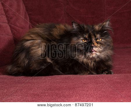 Tortoiseshell Cat Breed Exot Sits On Sofa