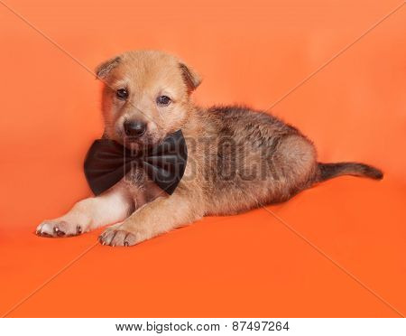 Little Yellow Puppy In Bow Tie Lying On Orange
