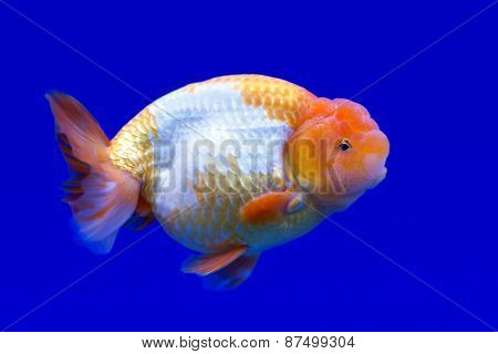 Ranchu Or Lion Head Goldfish