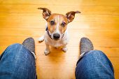 picture of begging dog  - jack russell dog ready for a walk with owner begging sitting and waiting on the floor inside their home - JPG