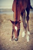 picture of foal  - Portrait of a brown foal with an asterisk on a forehead - JPG