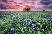 stock photo of wind blown  - Open meadow containing numerous bluebonnets blowing in the wind at sunrise - JPG