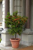 picture of tangerine-tree  - Tangerine tree in the pot on beautiful mansion background - JPG