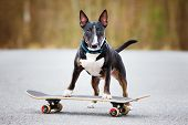 picture of bull-riding  - black english bull terrier on a skateboard - JPG