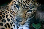 pic of leopard  - Portrait of a leopard  - JPG